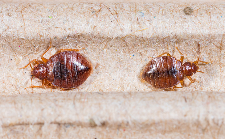 bed-bugs-home